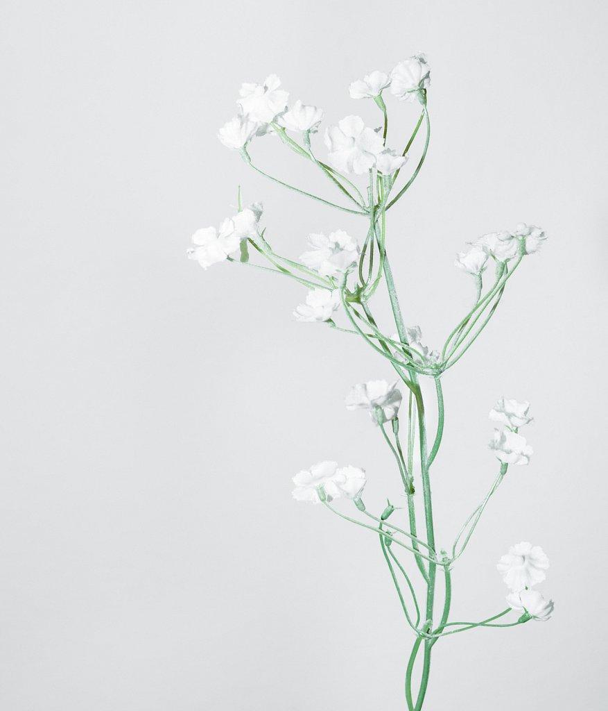 Silene-coronaria-alba.jpg