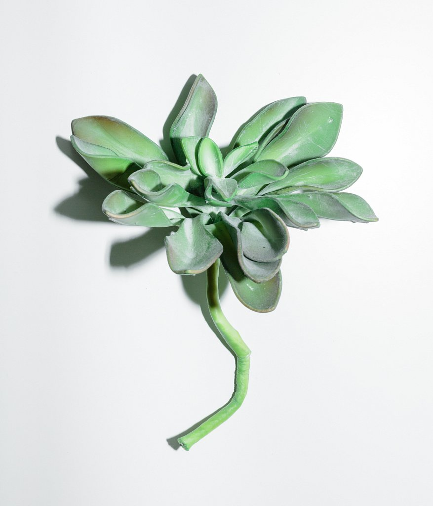 Echeveria-agavoides.jpg